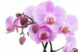 Купить орхидею